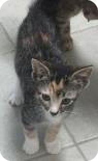 Domestic Shorthair Kitten for adoption in Columbus, Georgia - Squeal 1449