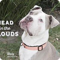 Boxer/American Bulldog Mix Dog for adoption in Camarillo, California - HUEY