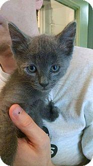 American Shorthair Kitten for adoption in Bryson City, North Carolina - Han