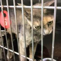 Domestic Shorthair/Domestic Shorthair Mix Cat for adoption in Lancaster, South Carolina - Katie