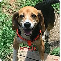 Adopt A Pet :: MILLIE - Ventnor City, NJ