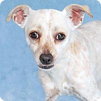 Adopt A Pet :: Wallace - Encinitas, CA