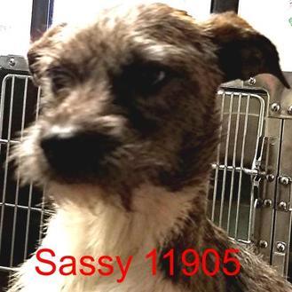 Schnauzer (Standard) Mix Dog for adoption in Manassas, Virginia - Sassy