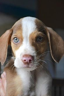 Coonhound Mix Puppy for adoption in Danbury, Connecticut - Acer