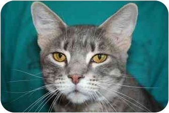 Domestic Shorthair Cat for adoption in tucson, Arizona - Rosey