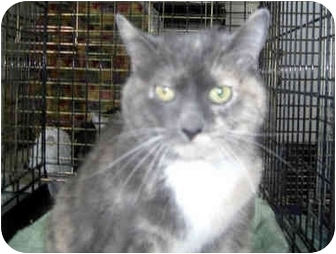 Domestic Shorthair Cat for adoption in Little Falls, New Jersey - HARLEY (MP)
