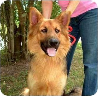 German Shepherd Dog Dog for adoption in Houston, Texas - Guinness