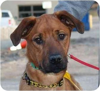 Boxer/Shar Pei Mix Dog for adoption in Berea, Ohio - Denz