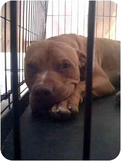 American Pit Bull Terrier/American Pit Bull Terrier Mix Dog for adoption in Los Angeles, California - Lucky