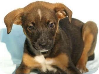 Border Collie/Labrador Retriever Mix Puppy for adoption in Portland, Maine - Parker