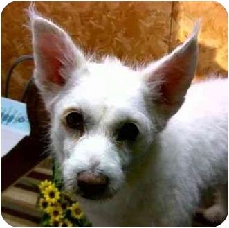 Spitz (Unknown Type, Small)/Westie, West Highland White Terrier Mix Dog for adoption in Harrisonburg, Virginia - Susie Holiday Special