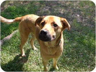 German Shepherd Dog/Labrador Retriever Mix Dog for adoption in Austin, Texas - Andy