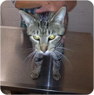 American Shorthair Cat for adoption in Allentown, Pennsylvania - Zinnia