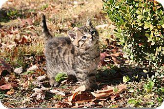 American Shorthair Kitten for adoption in Foster, Rhode Island - Yogi