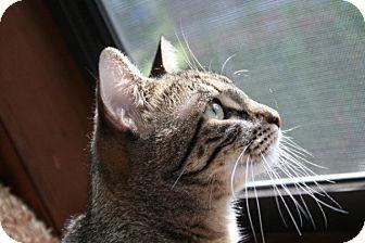 Domestic Shorthair Cat for adoption in Parkton, North Carolina - Mika