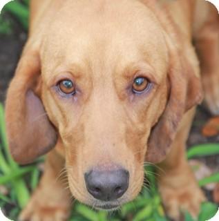 Basset Hound/Labrador Retriever Mix Dog for adoption in Norwalk, Connecticut - Mesa - adoption pending