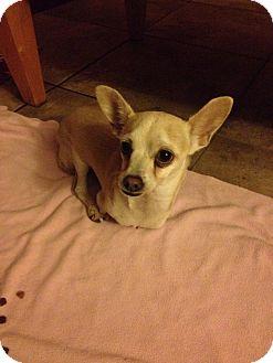 Chihuahua Dog for adoption in San Diego, California - Ken