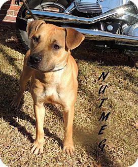 Black Mouth Cur Mix Dog for adoption in Hammond, Louisiana - Nutmeg