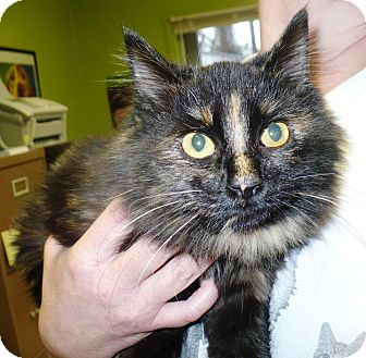 Domestic Longhair Kitten for adoption in Eastpoint, Florida - Chrissy