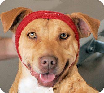 American Pit Bull Terrier/Boxer Mix Dog for adoption in White Plains, New York - Ninja