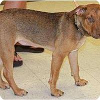 Adopt A Pet :: Tater - Gilbert, AZ