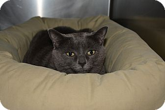 Domestic Shorthair Cat for adoption in Bay Shore, New York - Jenny