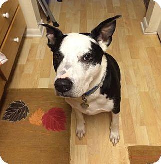 Labrador Retriever/Bulldog Mix Dog for adoption in Avon, New York - Duke