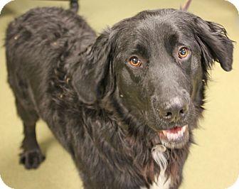 Labrador Retriever/Golden Retriever Mix Dog for adoption in Harrisonburg, Virginia - Cole