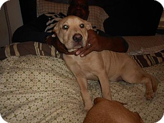 Shepherd (Unknown Type)/Chow Chow Mix Puppy for adoption in Rocky Mount, North Carolina - Max