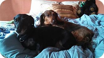 Dachshund Dog for adoption in Coatesville, Pennsylvania - Libby and Baxter