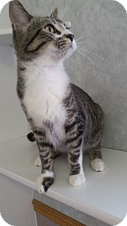 Domestic Shorthair Cat for adoption in China, Michigan - Yankee