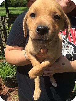 Rat Terrier Mix Puppy for adoption in Jacksonville, North Carolina - Roxy