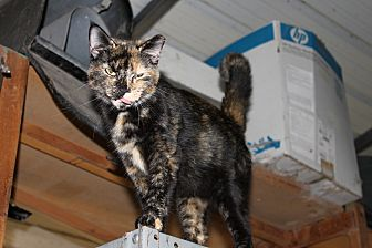American Shorthair Cat for adoption in Morriston, Florida - Torti Momma