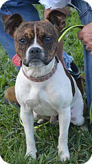 Boston Terrier Mix Dog for adoption in Beaumont, Texas - Boston