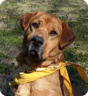 Golden Retriever/Labrador Retriever Mix Dog for adoption in Mocksville, North Carolina - Courtni