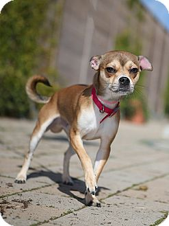 Chihuahua/Pug Mix Dog for adoption in Berkeley, California - Whiff
