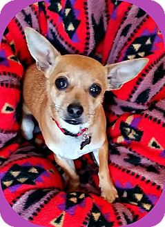 Chihuahua Dog for adoption in Newfield, New Jersey - Chico