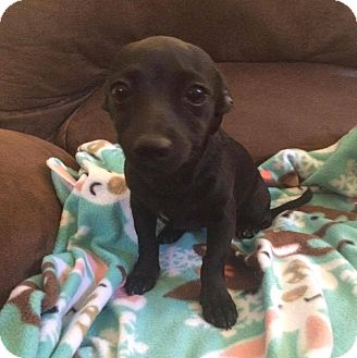 Chihuahua/Dachshund Mix Puppy for adoption in South San Francisco, California - Carrie