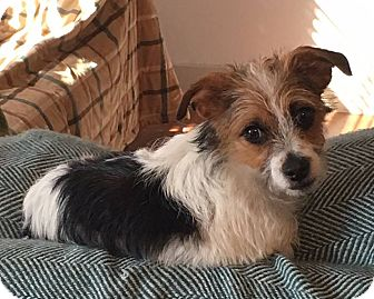 Jack Russell Terrier/Cairn Terrier Mix Puppy for adoption in Mesa, Arizona - Henry