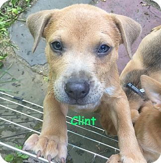 Labrador Retriever/Pit Bull Terrier Mix Puppy for adoption in Valley Stream, New York - Clint