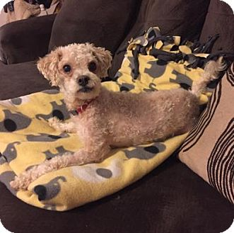 Poodle (Miniature)/Shih Tzu Mix Dog for adoption in Plainfield, Illinois - Curly Sue