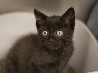 Domestic Shorthair Kitten for adoption in Dallas, Texas - Almond