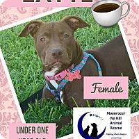 Adopt A Pet :: Latte - Holmes Beach, FL