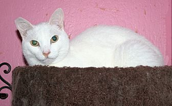 Domestic Shorthair Cat for adoption in Santa Rosa, California - Giovanni