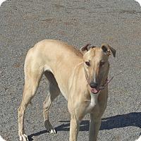Adopt A Pet :: Betty - Roanoke, VA