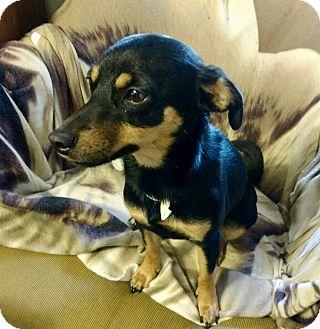 Miniature Pinscher Mix Dog for adoption in San Francisco, California - Hailey