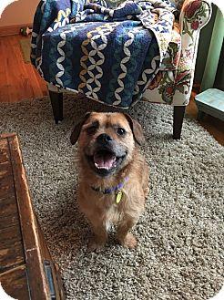 English Bulldog/Corgi Mix Dog for adoption in Maple Heights, Ohio - Ted