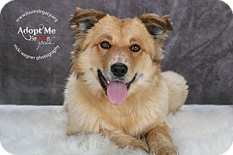 Australian Shepherd/Golden Retriever Mix Dog for adoption in Cincinnati, Ohio - Rosalie