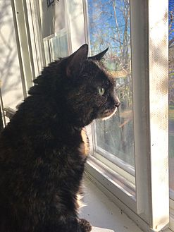 Domestic Shorthair Cat for adoption in Manchester, New Hampshire - Miss Kitty-Are U the 1 for me?