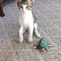 Domestic Shorthair Kitten for adoption in Prescott, Arizona - Slim